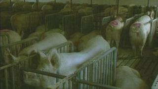 File generic image of pigs for intensive farming