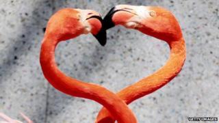 Flamingos wrap their necks in the shape of a heart
