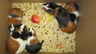 The guinea pigs found dumped in Oxford