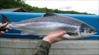 River Lochy salmon