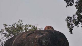 leopard on rock in Yala national park