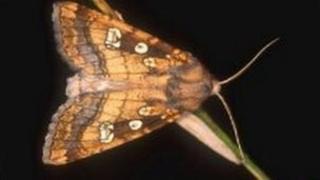 Fisher's Estuarine moth
