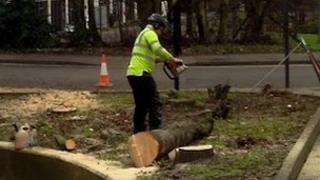 Worker cuts trees in Northampton