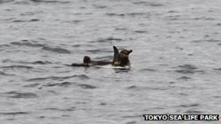 The escaped Humboldt penguin as seen in the Kyu-Edo River, 4 March 2012 (Picture courtesy Tokyo Sea Life Park)