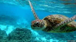Hawksbill sea turtle swimming on Great Barrier Reef