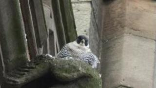 Peregrine falcon at Derby Cathedral