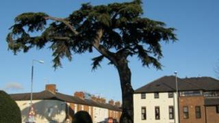 Cedar of Lebanon tree
