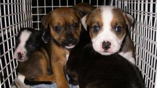 Some of the puppies abandoned at Carmel Chapel, Port Talbot