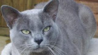 Rio the Burmese cat