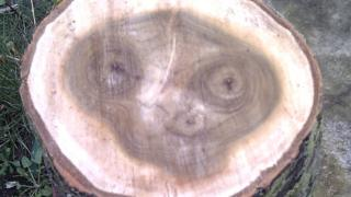 The grain in a cross section of a log appears to resemble film character ET The Extra Terrestrial.