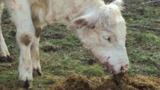 Injured heifer