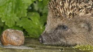 Hedgehog and snail (Image: Dave Bevan)