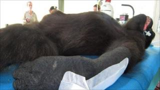 Shufai the gorilla on operating table in Cameroon