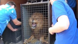 Samson the Lion in Cornwall