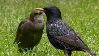 adult starling with young