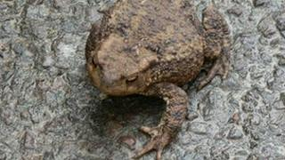 A toad sitting on a wet road