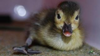 Madagascar pochard duck