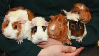 Guinea pigs at an animal shelter