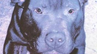Lennox, the pitbull