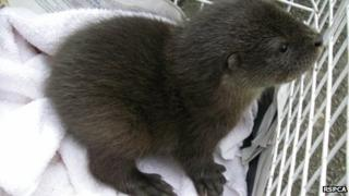 Rescued otter cub: Pic RSPCA