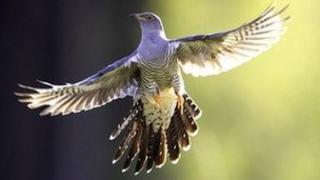 Common cuckoo (Image: photolibrary.com)
