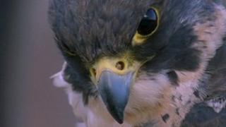 Peregrine falcon in Bath
