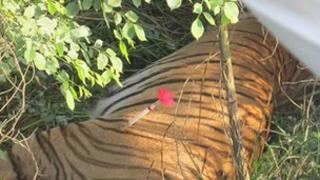 The sedated tiger in the Rahmankhera area of Uttar Pradesh