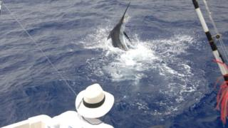 A blue marlin is being fished from M.Y. Balancal