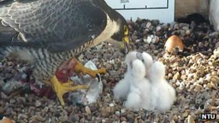 Peregrine chicks being fed by one of the parents