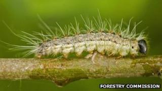 Oak processionary caterpillar