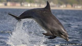 Bottlenose dolphin in Moray Firth