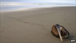 A dying pelican on a beach in northern Peru