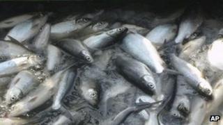Fish being processed (Image: AP)