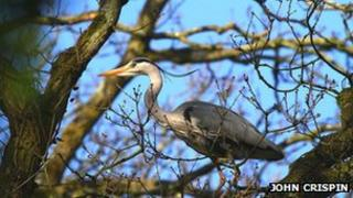 Heron in tree at Swell wood