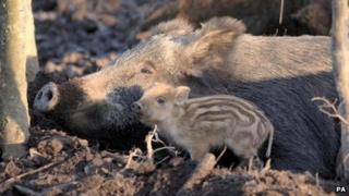 Wild boar and piglet