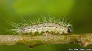 The Oak Processionary Moth caterpillar