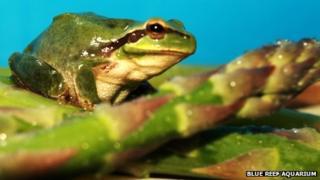 Maurice the European tree frog