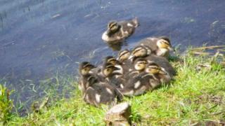 Ducklings on lake