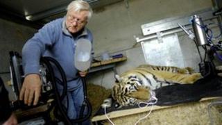 Sayan, a three-year-old Siberian Tigress during operation