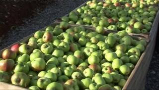 Armagh bramley apple harvest