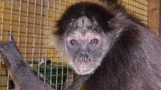Spider monkey - Pumpkin