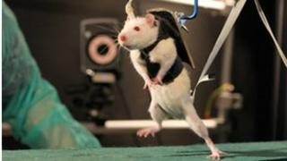 Paralysed rat walking