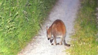 The last sighting of the missing marsupial in a lane way in Brantry near Eglish