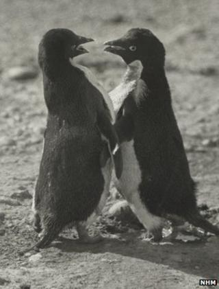Image of adelie penguins taken by George Levick (Image: Natural History Museum)