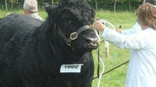 Cattle at Aberystwyth show in 2007