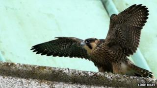 Chichester Cathedral peregrine falcon chick (Photo by Luke Dray)