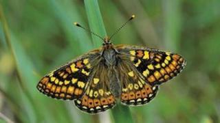 A marsh fritillary butterfly