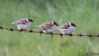 Three tree sparrows on a wire on Lewis