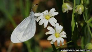 The Princethorpe area supports Warwickshire's sole surviving colony of Wood White. butterflies (Photo Steven Cheshire, Warwickshire Wildlife Trust)
