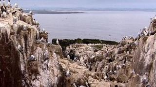Kittiwakes nesting on the Farne Islands